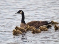 2013 05 15 AA155135 Canada Goose small
